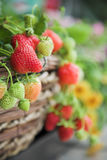 Fresh strawberry plant close-up. Fresh strawberry plant in greenhouse. Close-up royalty free stock images