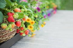 Fresh strawberry plant and flowers Royalty Free Stock Image
