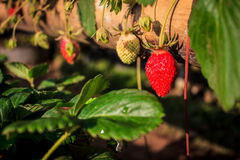 Fresh strawberry. Strawberry ripe and raw on bamboo pots Royalty Free Stock Photo