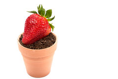 Fresh strawberry soil and planter. Isolated on white background royalty free stock photo
