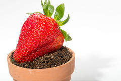 Fresh strawberry soil and planter. Isolated on white background royalty free stock image