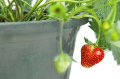 Fresh strawberry on tree isolated on white Royalty Free Stock Photography