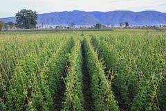 Fresh string bean field. In Dalat, Vietnam Stock Photos
