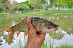 Fresh striped barb fish in a hand. With pond background Royalty Free Stock Photography
