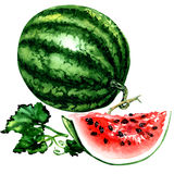 Fresh striped watermelon with leaves, whole and slice isolated, watercolor illustration on white Royalty Free Stock Photo