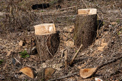Fresh stumps Royalty Free Stock Photos