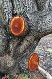 Fresh Stumps on Pruned Tree. Two large freshly cut stumps on a pruned tree with rough bark Royalty Free Stock Photo