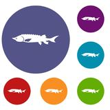 Fresh sturgeon fish icons set. In flat circle reb, blue and green color for web Royalty Free Stock Images