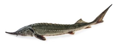 Fresh sturgeon fish isolated clipping path.  royalty free stock photography