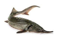Fresh sturgeon fish isolated on white.  royalty free stock image