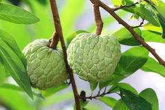 Fresh sugar apple Stock Photos