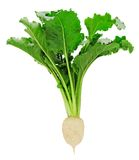 Fresh sugar beet with leaves Stock Image