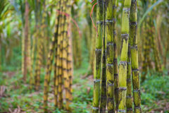 Fresh sugarcane in garden Royalty Free Stock Image