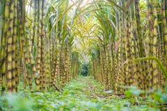 Fresh sugarcane in garden Stock Image