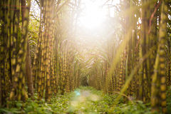 Fresh sugarcane in garden Stock Photography