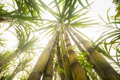 Fresh sugarcane in garden Royalty Free Stock Photos