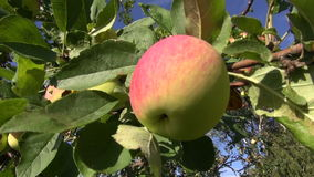 Fresh summer apple on tree branch in garden Stock Photo