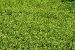 Fresh summer grass Stock Image