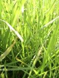 Fresh summer grass. Green shoots basking in the sun stock photography