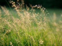 Fresh summer grass field at dawn, nature background Stock Photography
