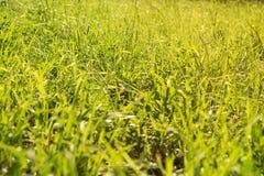 Fresh summer green grass background; selective focus. Fresh summer green grass in daytime sunlight Royalty Free Stock Photos