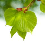 Fresh Summer Leaves on Blurred Green Background Stock Photos