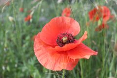 Delicate red poppy royalty free stock image