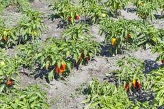 Fresh summer pepper plant Royalty Free Stock Image