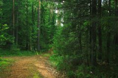 Fresh summer spruce forest Stock Images