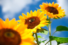 Fresh sunflower Royalty Free Stock Images