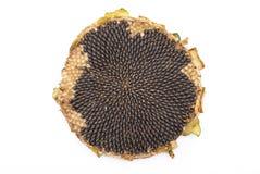 Fresh sunflower Stock Photography