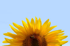 Fresh sunflower against blue sky Royalty Free Stock Images