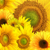 Fresh sunflower background Royalty Free Stock Photos