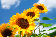 Fresh sunflower on blue sky. As background Stock Photography