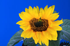 Fresh Sunflower with blue sky Royalty Free Stock Image