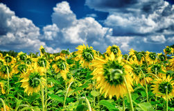 Fresh sunflower field Royalty Free Stock Images