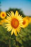 Sunflower field on Sunrise Royalty Free Stock Photo
