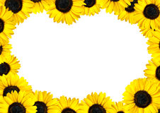 Fresh Sunflower Frame with White Background Royalty Free Stock Photos