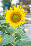 Fresh sunflower from garden Stock Photo