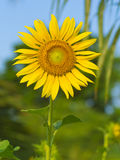 Fresh sunflower Stock Images
