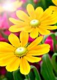 Fresh sunflowers Stock Photography