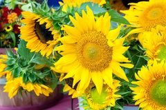 Freshly picked sunflowers on sale at a farmers market. stock images