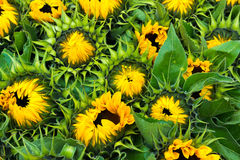 Fresh sunflowers for sale Stock Photos