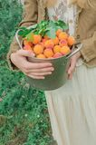 Fresh sweet apricots in a metal pan. royalty free stock photography