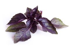 Fresh sweet basil Stock Photography