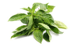 Fresh Sweet Basil Royalty Free Stock Image