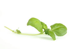 Fresh sweet basil leaf Stock Photos