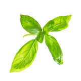 Fresh sweet basil leaves Royalty Free Stock Images