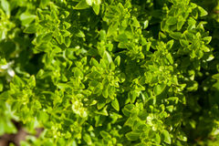 Fresh sweet basil plants Royalty Free Stock Photography