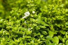 Fresh sweet basil plants Stock Photos